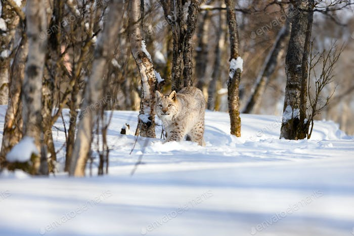 Alert lynx strolling on snow amidst bare trees