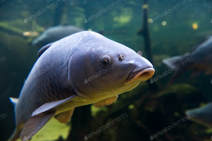 Freshwater fish carp (Cyprinus carpio) in the pond