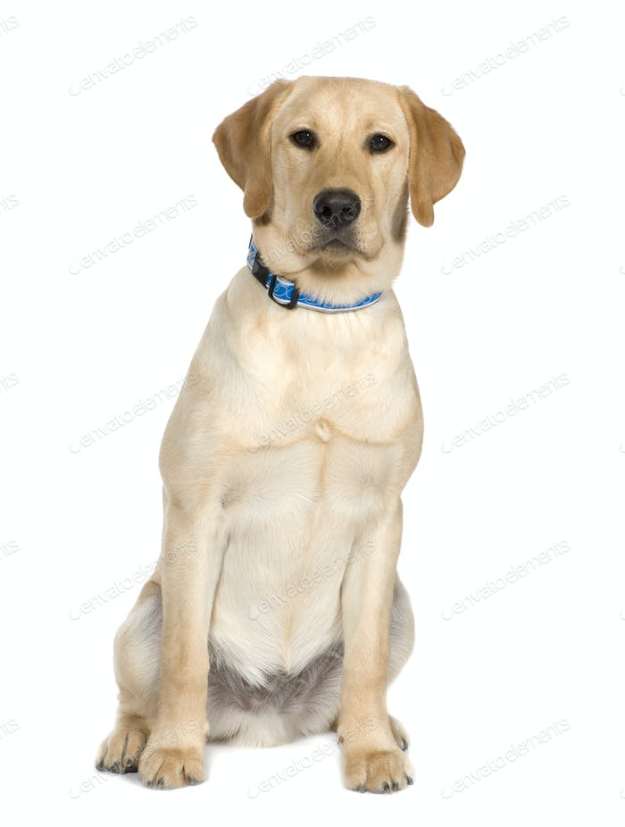 Labrador (6 month)