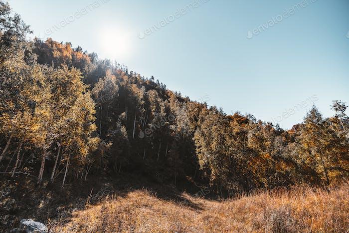 Herbstlandschaft, Birken auf dem Hügel