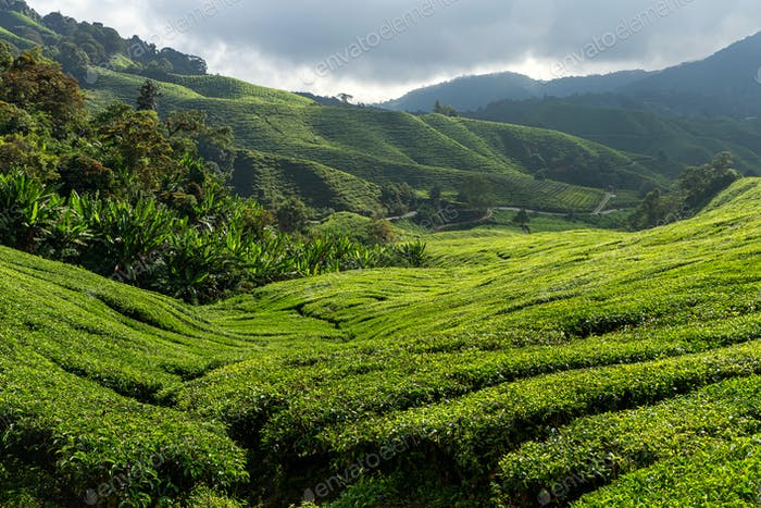 Views of tea plantation in Cameron highlands, Malaysia