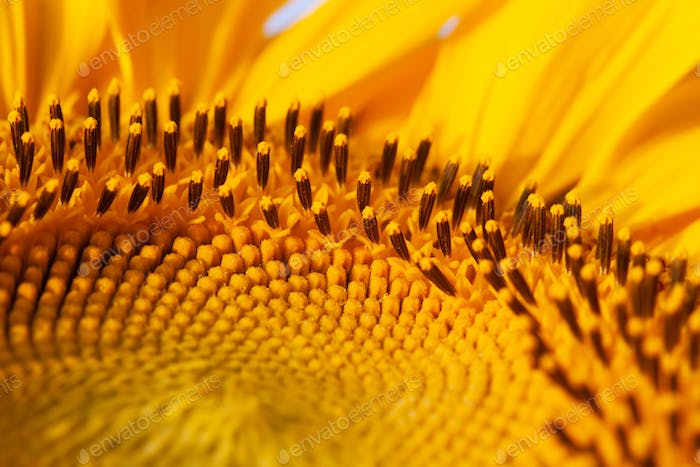 Yellow sunflower pattern background macro view.