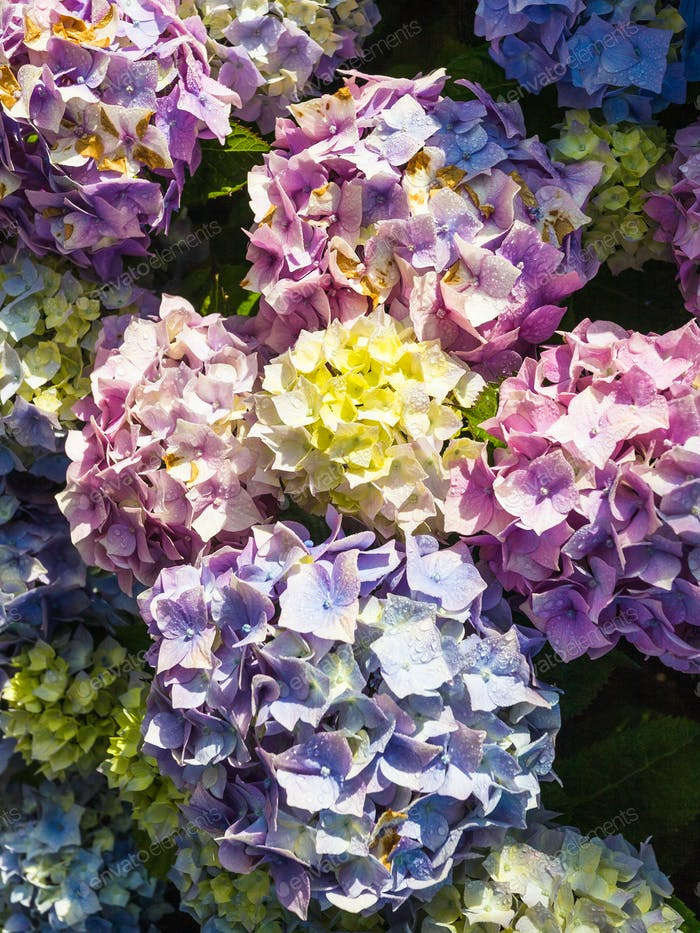 traditional breton hydrangea flowers after rain