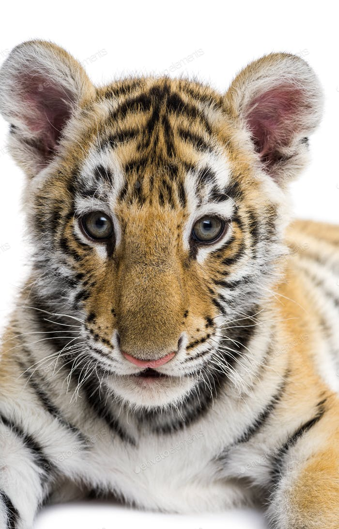 Close-up on a Two months old tiger cub against white background