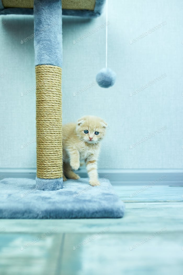 Funny British shorthair kitten play, scratching a cat tree