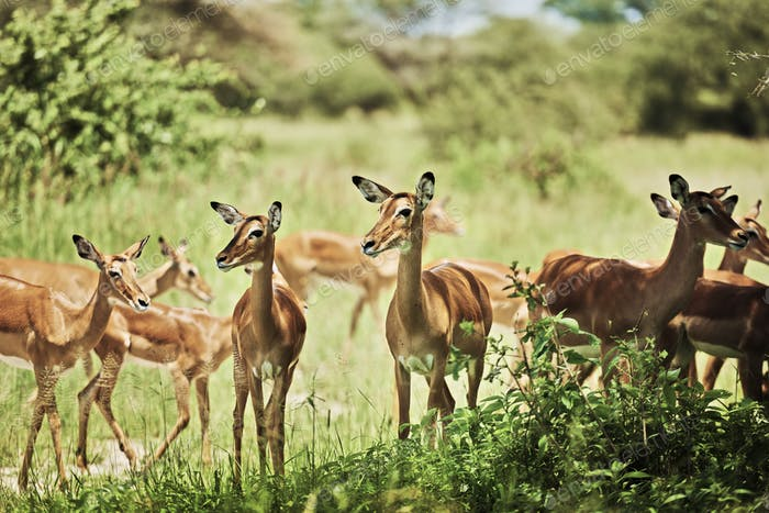 Group of antelopes in National Park of Tanzania