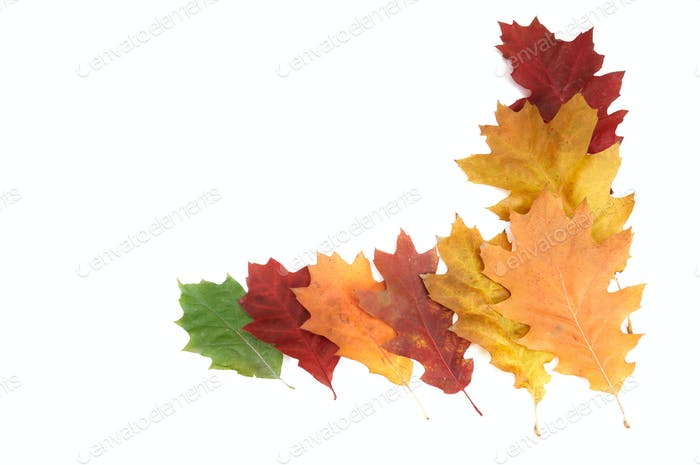 Beautiful autumnal leaves on a white.