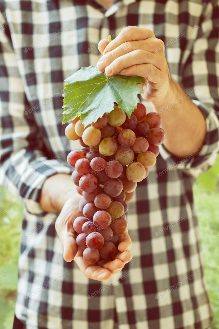 red grapes in hands