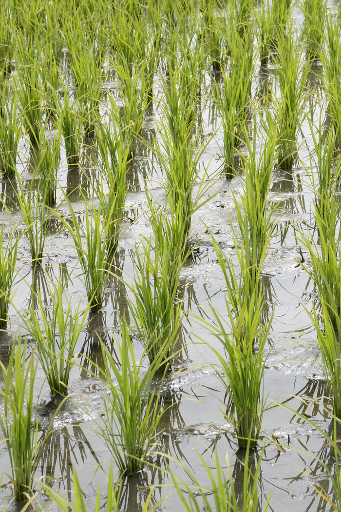 Rice field with young plants