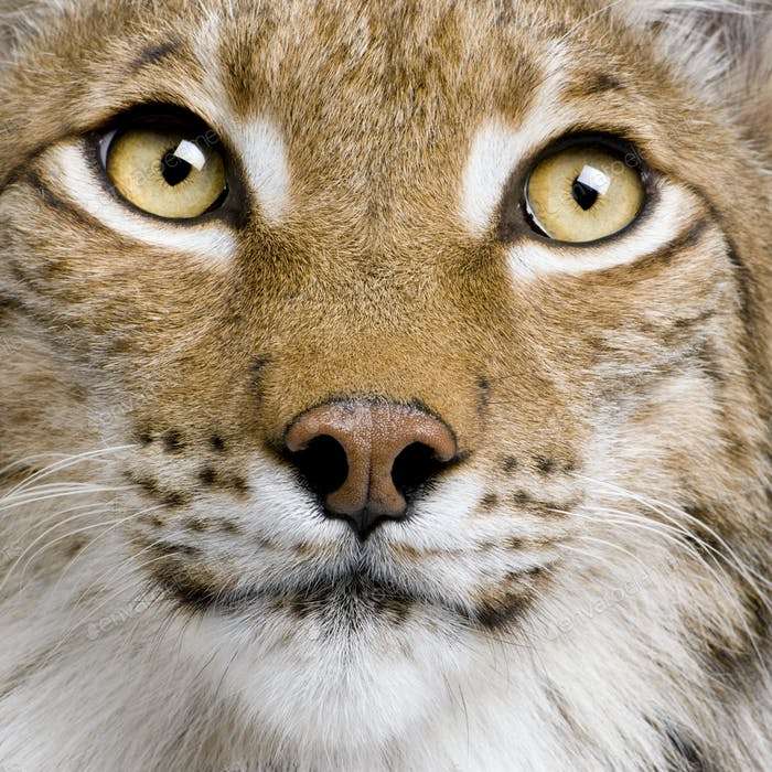 Close-up of Eurasian Lynx, lynx lynx, 5 years old, studio shot