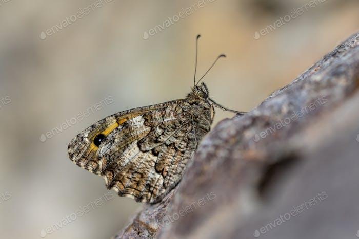 Southern grayling butterfly