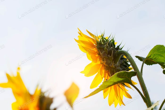 Sunflower at the sunlight