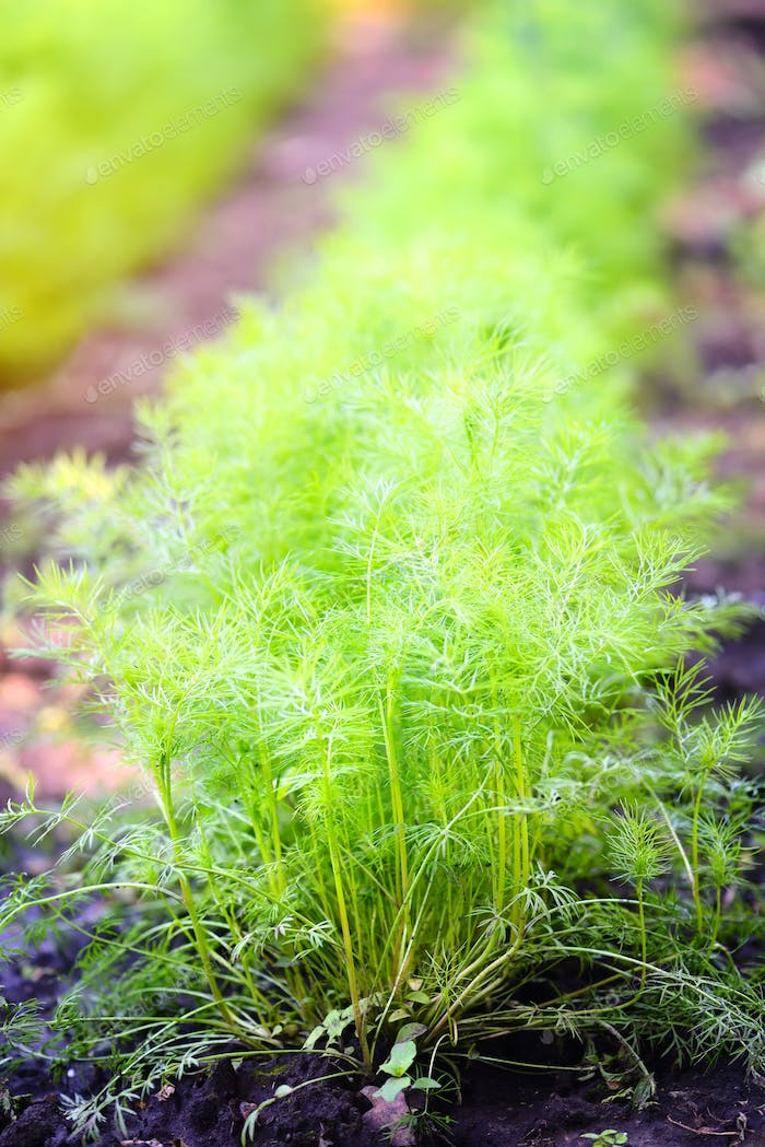 Dill growing in garden