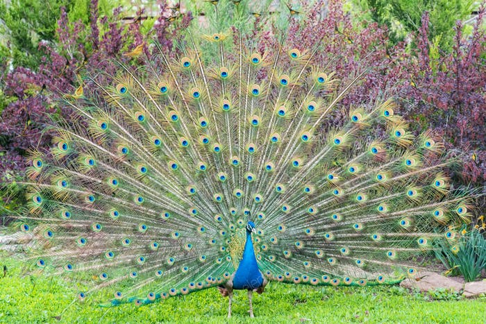 Close up male peacock with fully unfolded feathers of his tail