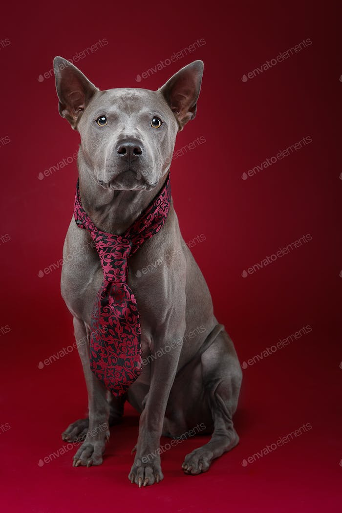 beautiful thai ridgeback dog in tie