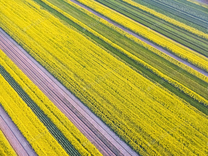 aerial view of rapeseed flower field