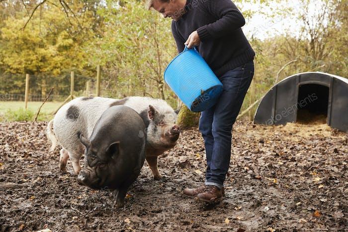Mature Man Feeding Rare Breed Pigs In Garden