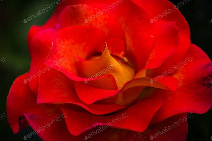 Close up of red rose, symbol for love and romance
