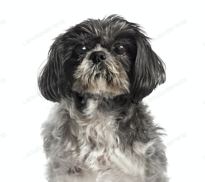 Shih Tzu, 15 years old, in front of white background