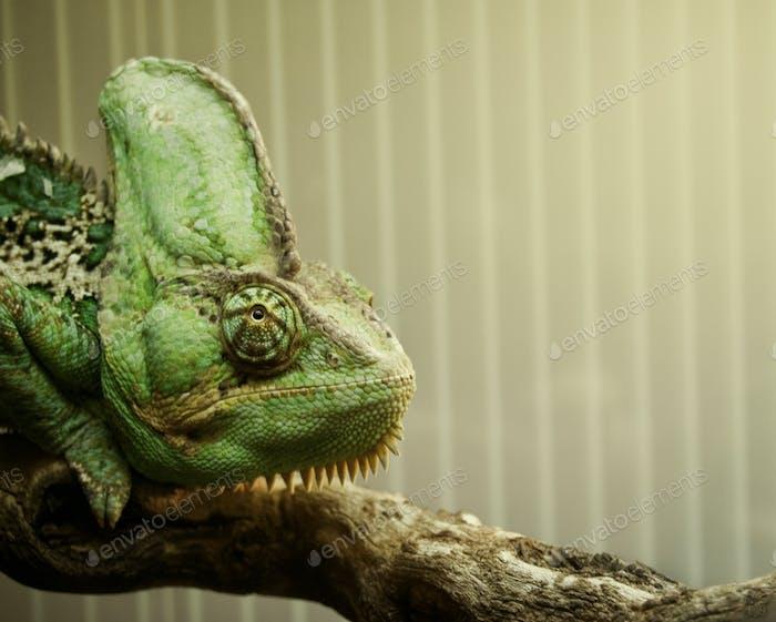 Close portrait of a chameleon
