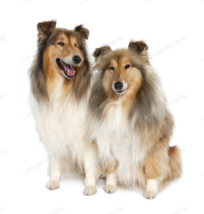 group of two shelties (5 and 6 years old)