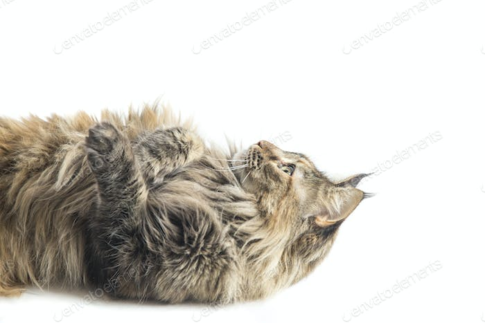 specimen of isolated maine coon cat playing by lying down