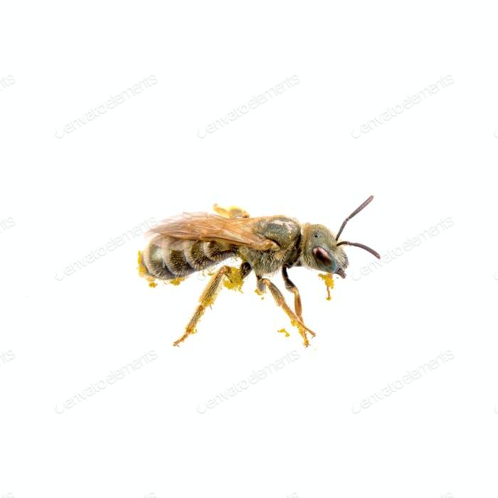 Schwarzes Insekt mit gelben Streifen auf weißem Hintergrund