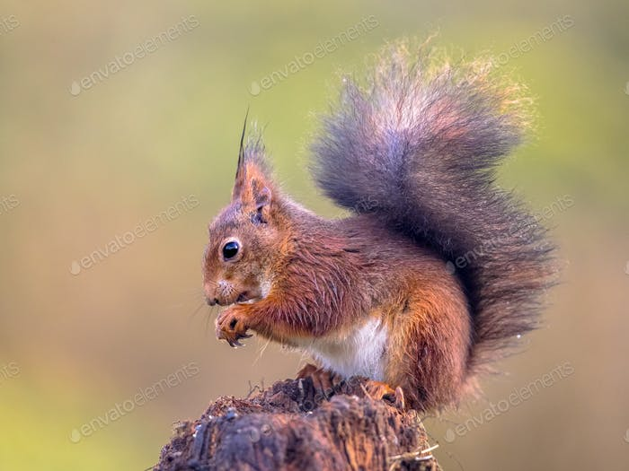 Red squirrel eating nuts from forelegs
