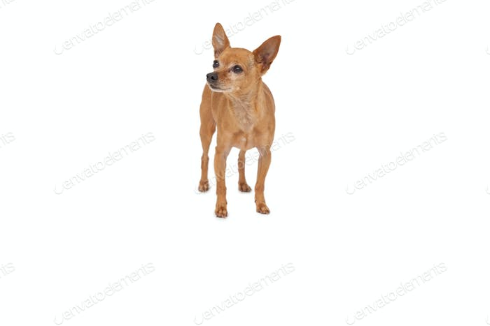 Full length of a dog standing over white background