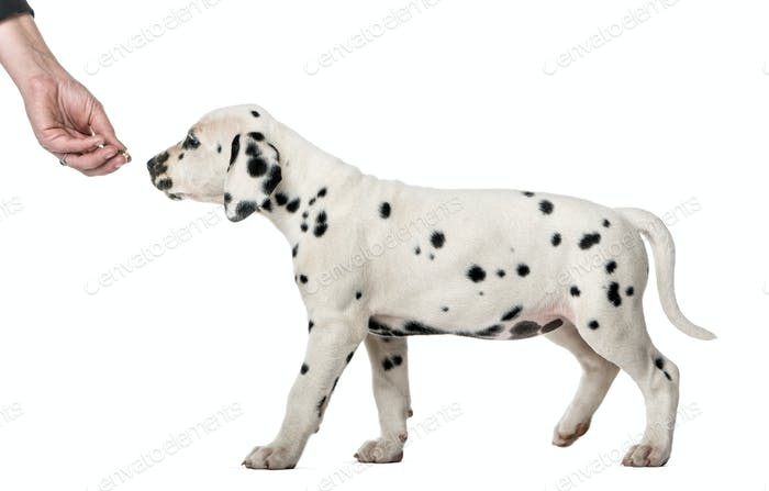 Dalmatian puppy sniffing a hand in front of a white background