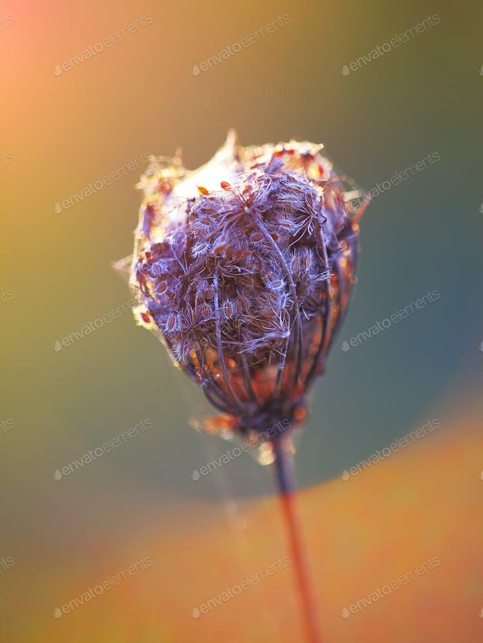 Romantic back lit dried flower head