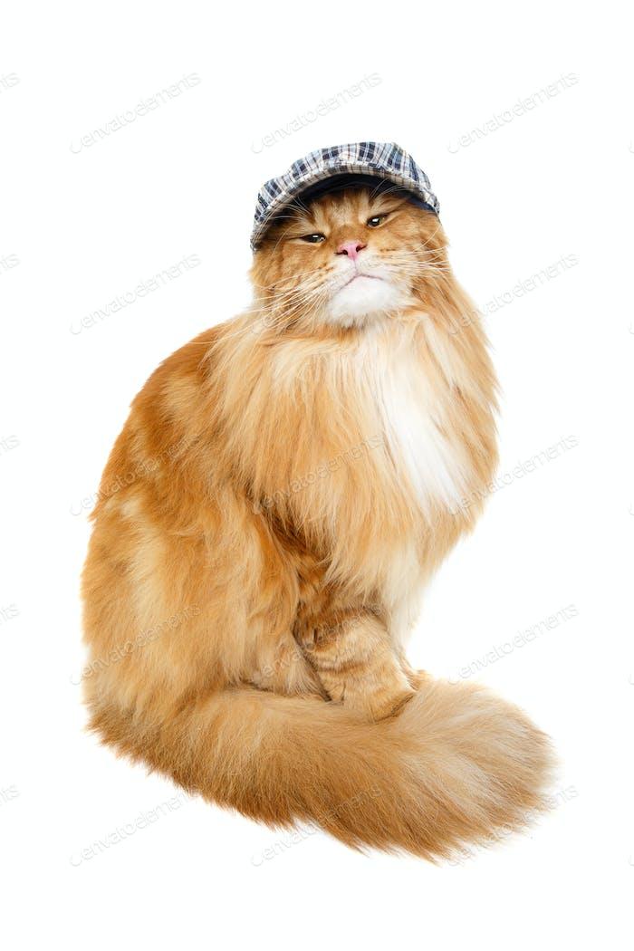schöne Maine Coon Katze im Hut