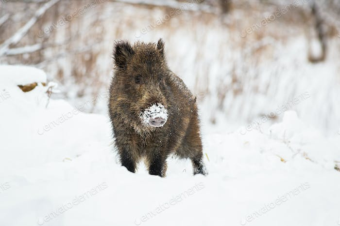Young wild boar piglet with snow on snout looking curiously in wintertime
