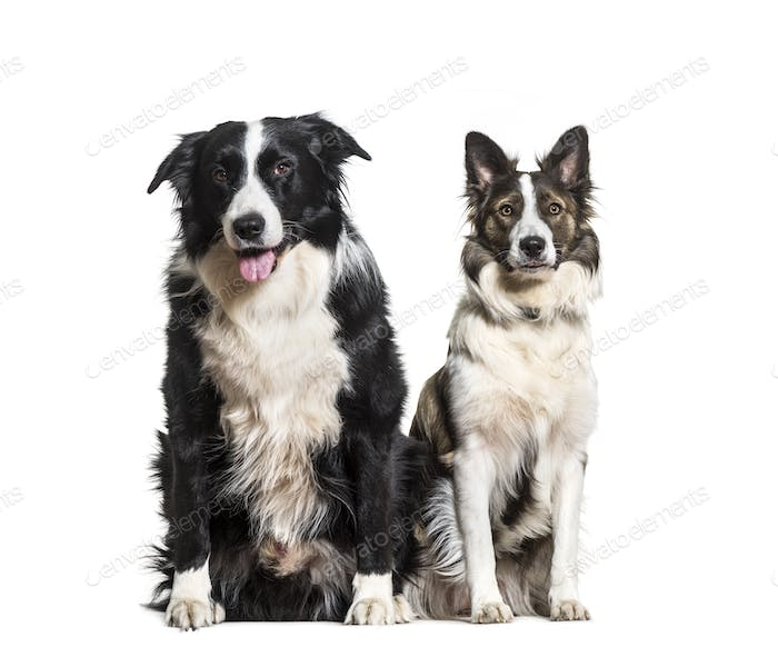 Border Collie dogs sitting and panting, cut out