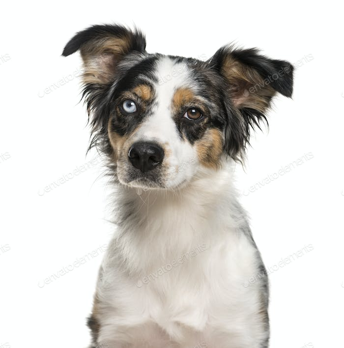 Close-up of an Australian Shepherd with heterochromia in front of a white background