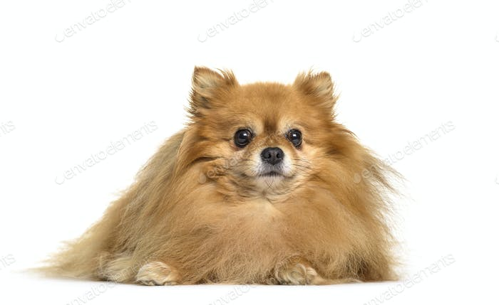 Pomeranian dog lying, cut out