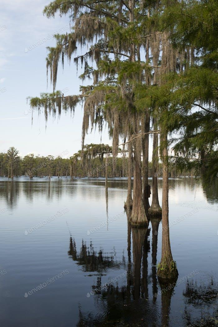 Cypress Trees Georgia Swamp