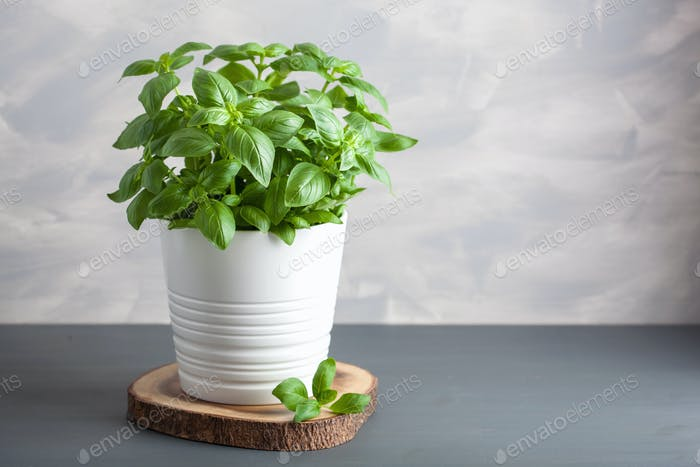 fresh basil herb in flowerpot