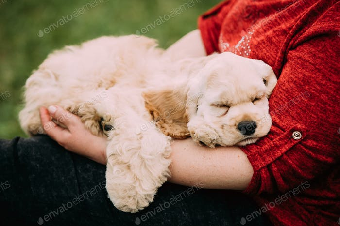 White American Cocker Spaniel Dog Sleeping On Woman's Hand