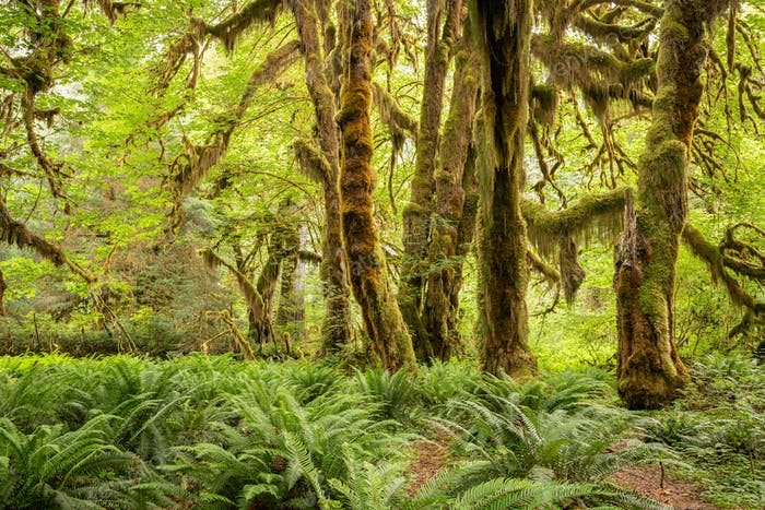 Hall of Mosses in the Hoh Rainforest of Olympic National Park, Washington