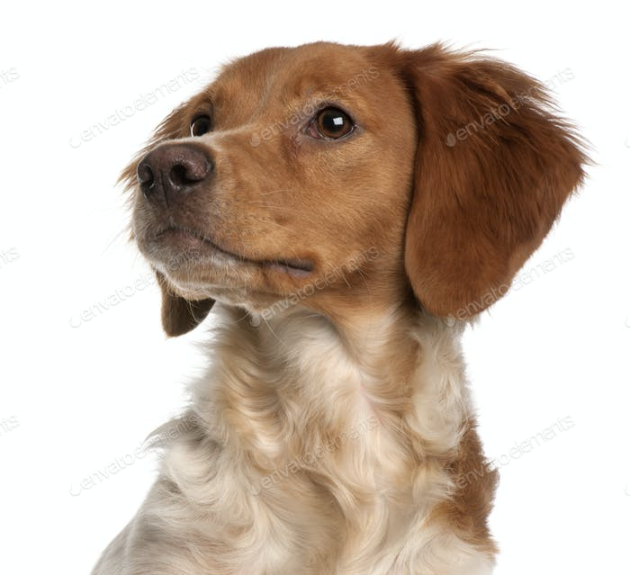Close-up of Brittany puppy, 6 months old, in front of white background