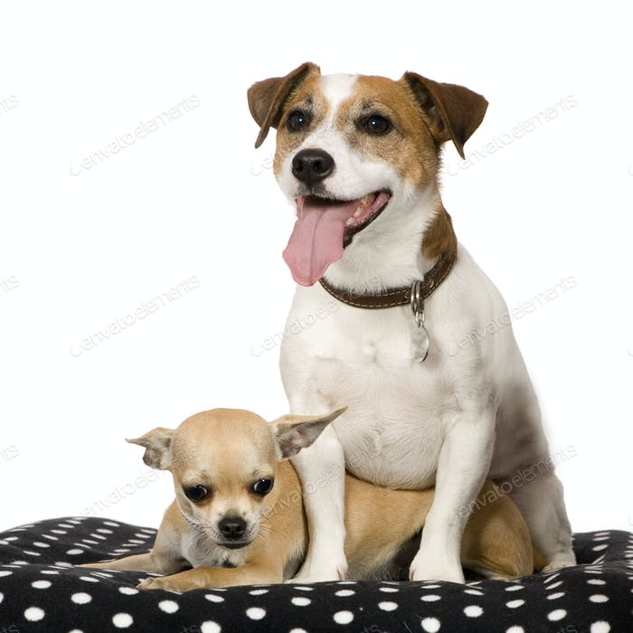 chihuahua (11 months) and a jack russel (4 years)