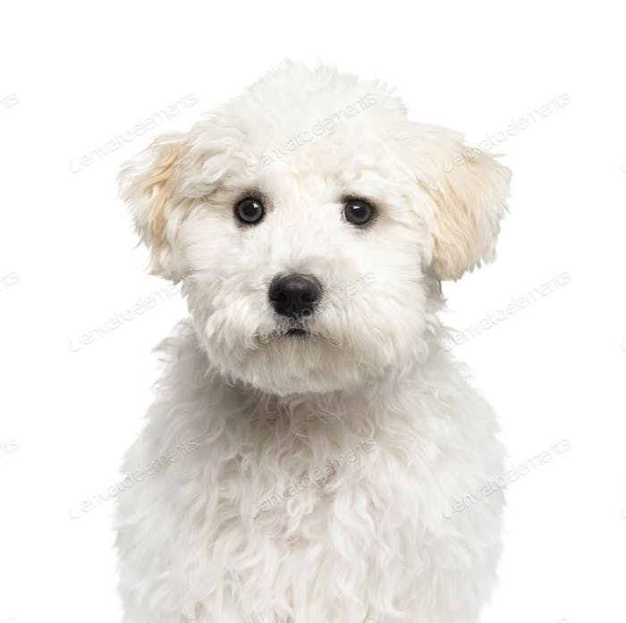 Close-up of a Maltese puppy, 6 months old, isolated on white