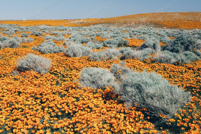The California poppyflowering in the Antelope Valley California poppy reserve.