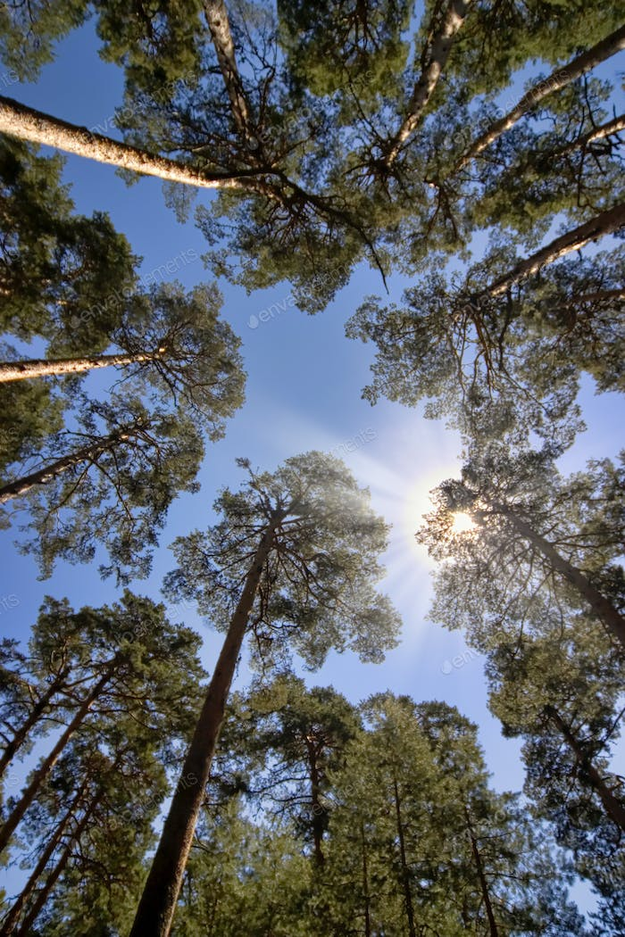 Scot Pine Forest, Guadarrama National Park, Spain
