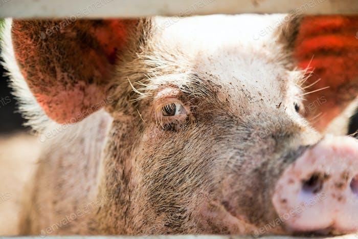 Nahaufnahme eines Schweineauges