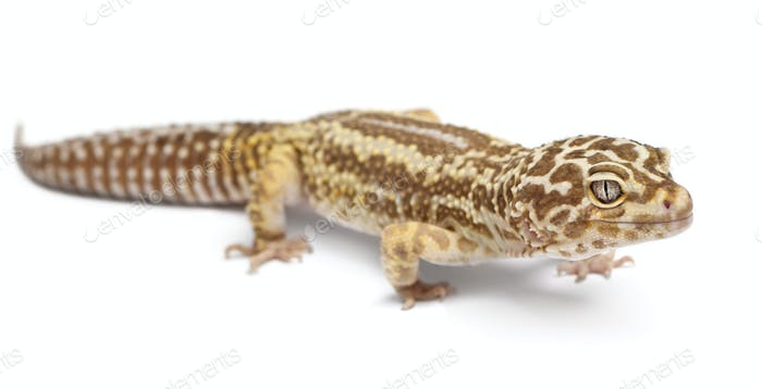 Albino Striped Leopard gecko, Eublepharis macularius, in front of white background