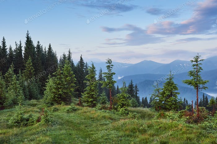 Misty Carpathian mountain landscape with fir forest, the tops of trees sticking out of the fog
