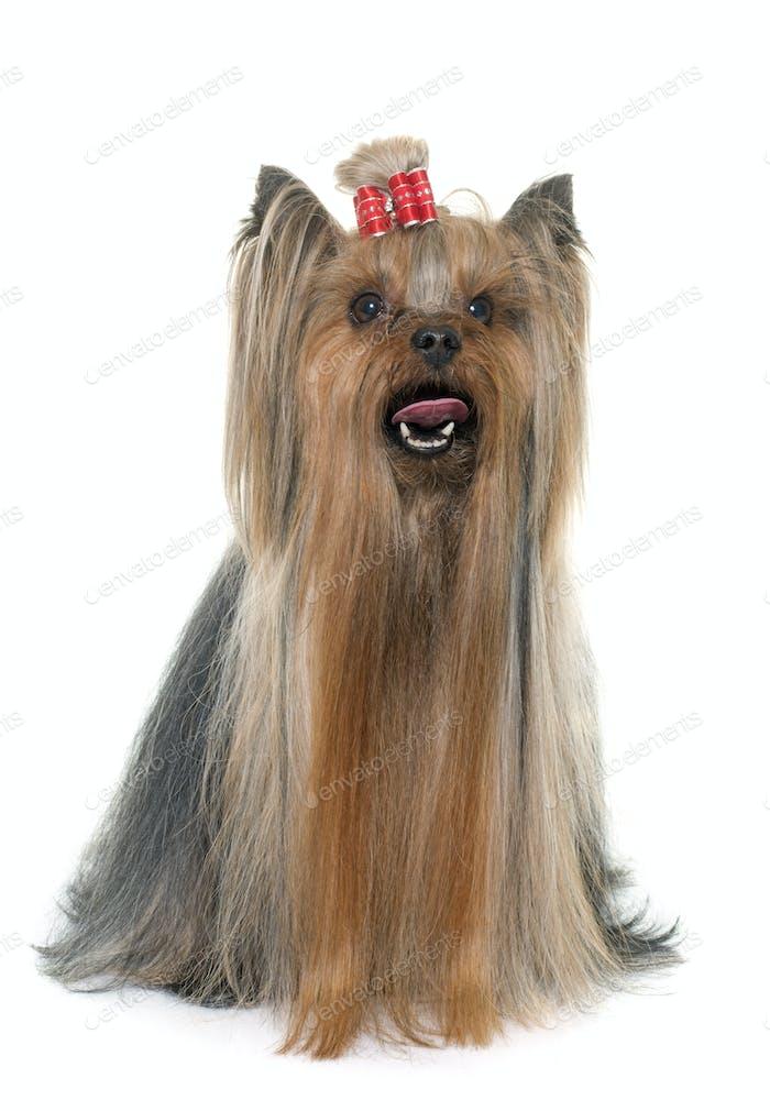 erwachsener Yorkshire Terrier