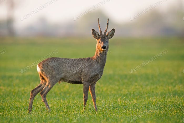 Roe deer, capreolus capreolus, buck in summer in soft light